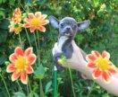 красивая стандартная голубая чихуахуа девочка