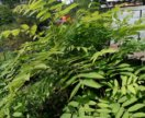 Дерево манжурский орех для сада