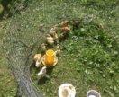 Цыплята разных пород и кроссы.