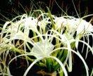 Панкрациум, Нильская лилия