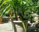 Вечнозеленная пальма юкка