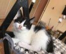 Котёнок породистый