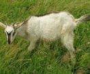 Продам козлят Зааненской породы, возраст 7 месяцев