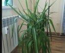 Пальма юкка растение