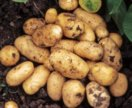 Картофель желтый оптом