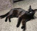 Опытный кот для вязки