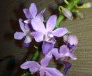 Орхидея Doritaenopsis Purple Gem Aida