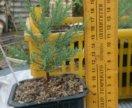 Саженцы секвойядендрона, мамонтово дерево