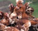 Несушки-куры хайсес 4 мес