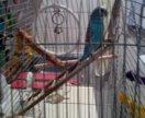Попугай волнистый Гоша