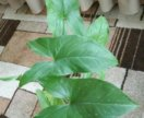 Компактный цветок Сингониум семейство лиановых
