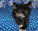 Котенок в добрые руки Коко,кошка в дар