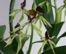 Орхидея энциклия кохлеата