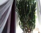 Комнатное растение Молочай ушастый