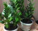 Комнатное растение-замиокулькас