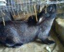 Кролик 1,5 года