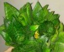Сансевьерия Комнатное растение
