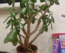 Красула денежное дерево 52см от кромки горшка