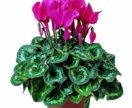 Продам цветок Цикламен