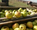 Яблоки грени смит