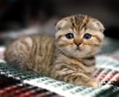 Котенок вислоухая девочка