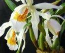 Цылагина орхидея