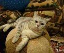 Британский котик на вязку