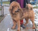 Тибеты
