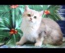 Золотой котёночек