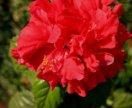 Гибискус красный махровый