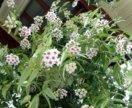 Цветок Хойя Белла, ещё остались!