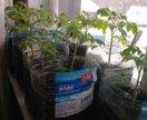 Рассада помидоры черри Балконное чудо