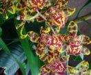 Орхидеи (камбрии)