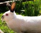 Калифорнийский крол