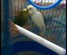 Попугаи с приданым