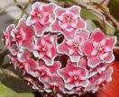 Хойя pubicalyx silver pink
