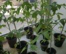 Рассада томатов помидор цена за все в торфяных гор
