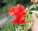 Пеларгония (герань) ампельная.Ярко-красная. Продам
