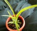 Хлорофитум комнатное растение