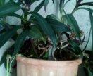 Традисканция комнатное растение