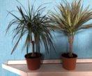 Драцена пальма 42 см