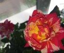 Роза комнатная