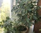 Растения в горшках: шефлера и молочай