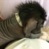 Собака китайская хохлатая. Фото 3. Сургут.