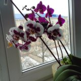 Орхидеи + кашпо (стекло). Фото 1.