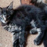 Котёнок мейн кун. Фото 1.