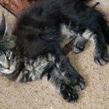 Котёнок мейн кун. Фото 2.