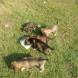 Красивые щенки!. Фото 2. Армавир.