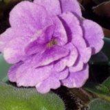 Фиалка цветущая. Фото 2. Сухой Лог.