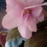 Фиалка цветущая. Фото 1. Сухой Лог.